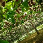 山梨県でぶどう狩り‼ぶどうの名産地でぶどう食べ放題の観光農園18選