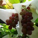 静岡県でぶどう狩り‼摘み取り体験やぶどう食べ放題の観光果樹園8選
