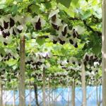青森県でぶどう狩り‼ぶどうの収穫体験や食べ放題ができる観光果樹園4選