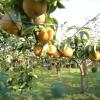 滋賀県で梨狩りを体験しよう‼梨の食べ放題が楽しめる観光果樹園5選