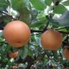 三重県で梨狩りを体験しよう‼梨の食べ放題が楽しめる観光果樹園2選