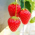 三重県でいちご狩り‼いちごの収穫体験や食べ放題が楽しめる観光農園20選