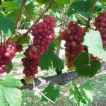 愛媛県でぶどう狩り‼ぶどうの食べ放題や収穫体験ができる観光果樹園6選