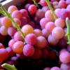 長崎県でぶどう狩りを楽しもう‼ぶどうの収穫体験ができる観光果樹園3選