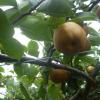 埼玉県で梨狩り!梨の食べ放題や収穫体験が楽しめる観光果樹園7選