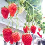 埼玉県でいちご狩り‼いちごの食べ放題や収穫体験が楽しめる観光農園28選