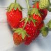 富山県でいちご狩り‼いちごの食べ放題や収穫体験が楽しめる観光農園4選