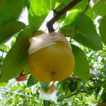 秋田県で梨狩りを体験しよう‼梨の収穫体験が楽しめる観光果樹園2選