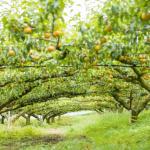茨城県で梨狩りを体験しよう‼梨の食べ放題が楽しめる観光果樹園8選