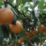 群馬県で梨狩り!梨の食べ放題や収穫体験が楽しめる観光果樹園7選