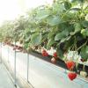 長野県でいちご狩りを楽しもう‼いちごの食べ放題が楽しめる観光農園15選