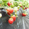 愛知県でいちご狩りを楽しもう‼いちごの食べ放題が楽しめる観光農園29選