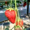 広島県でいちご狩り‼いちごの食べ放題や収穫体験 ができる観光農園14選