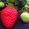徳島県でいちご狩りを楽しもう‼いちごの食べ放題ができる観光農園12選