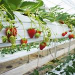 福岡県でいちご狩り‼いちごの食べ放題や収穫体験ができる観光農園19選
