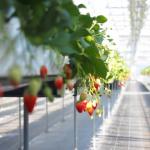 佐賀県でいちご狩りを楽しもう‼いちごの食べ放題ができる観光農園7選