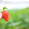 鹿児島県でいちご狩り‼いちごの食べ放題や収穫体験ができる観光農園9選