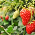 北海道でいちご狩り‼いちごの食べ放題や収穫体験ができる観光農園25選