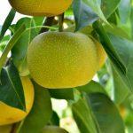 島根県で梨狩り‼梨の食べ放題や収穫体験ができる観光農園2選