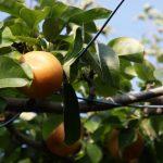 奈良県で梨狩り‼梨の食べ放題や収穫体験ができる観光農園4選