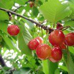 秋田県でさくらんぼ狩り‼さくらんぼの食べ放題が楽しめる果樹園3選