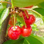 滋賀県さくらんぼ狩り‼さくらんぼの食べ放題が楽しめる観光果樹園2選