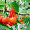 岩手県でさくらんぼ狩り‼さくらんぼの食べ放題が楽しめる果樹園2選