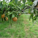 熊本県で梨狩り‼梨の収穫体験や食べ放題ができる観光農園8選