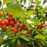福島県でさくらんぼ狩り‼さくらんぼの食べ放題が楽しめる果樹園15選