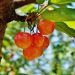 岐阜県でさくらんぼ狩り‼さくらんぼの食べ放題が楽しめる果樹園2選