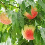 秋田県で桃狩り‼桃の収穫体験が楽しめる観光果樹園1選