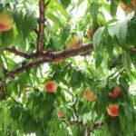 山形県で桃狩り‼桃の食べ放題が楽しめる果樹園10選