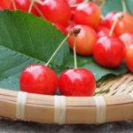 島根県でさくらんぼ狩り‼さくらんぼの食べ放題が楽しめる果樹園1選