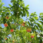 埼玉県で桃狩り‼桃の食べ放題が楽しめる観光果樹園1選
