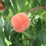 広島県で桃狩り‼桃の食べ放題が楽しめる果樹園1選