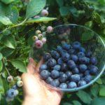 三重県でブルーベリー狩り‼ブルーベリーの食べ放題や収穫体験が楽しめる果樹園13選