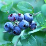 滋賀県でブルーベリー狩り‼ブルーベリーの食べ放題が楽しめる果樹園8選