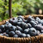 石川県でブルーベリー狩り‼ブルーベリーの食べ放題や収穫体験が楽しめる果樹園7選