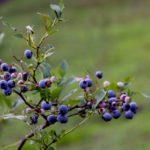 富山県でブルーベリー狩り‼ブルーベリーの食べ放題や収穫体験が楽しめる果樹園4選