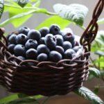 長野県でブルーベリー狩り‼ブルーベリーの食べ放題や収穫体験が楽しめる果樹園59選