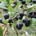 静岡県でブルーベリー狩り‼ブルーベリーの食べ放題や収穫体験が楽しめる果樹園15選