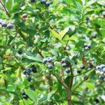 兵庫県ブルーベリー狩り‼ブルーベリーの食べ放題や収穫体験が楽しめる果樹園10選