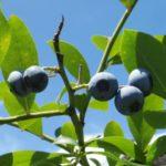 山口県ブルーベリー狩り‼ブルーベリーの食べ放題や収穫体験が楽しめる果樹園8選