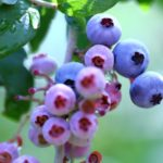 長崎県ブルーベリー狩り‼ブルーベリーの食べ放題や収穫体験が楽しめる果樹園6選
