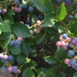 北海道ブルーベリー狩り‼ブルーベリーの食べ放題や収穫体験が楽しめる果樹園34選