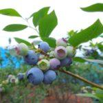 大分県ブルーベリー狩り‼ブルーベリーの食べ放題や収穫体験が楽しめる果樹園5選