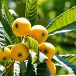 静岡県でびわ狩り‼びわの食べ放題や収穫体験が楽しめる果樹園2選