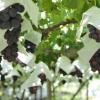 三重県でぶどう狩りを楽しみましょう‼ぶどうが食べ放題の果樹園2選
