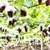 岩手県でぶどう狩りを楽しもう‼ぶどう食べ放題時間制限なしのぶどう園5選
