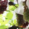 福島県でぶどう狩り‼フルーツ王国福島でぶどう狩りができる観光果樹園10選!